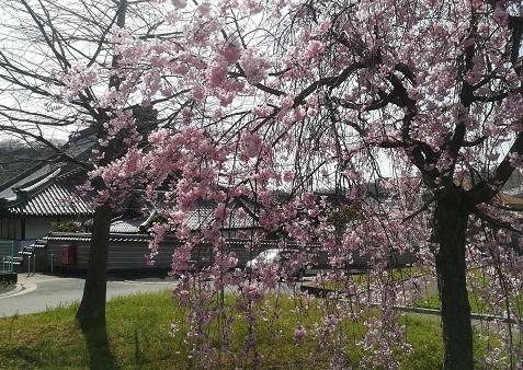 3 お寺の横の桜