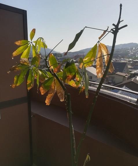 1 パキラの葉がなくなった