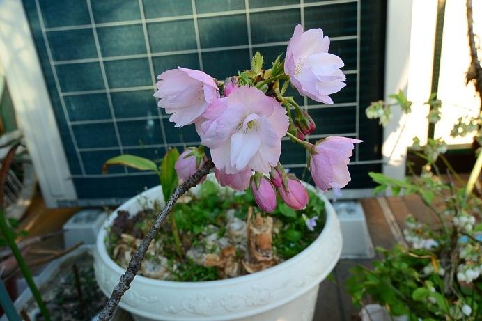 18旭山桜_0908a