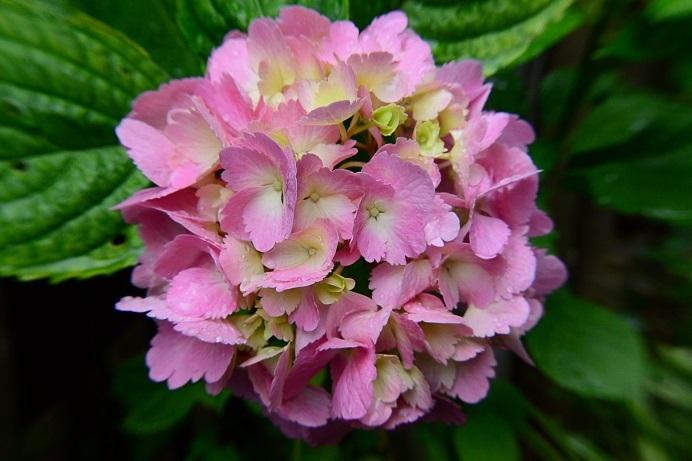 18紫陽花ピンク_1164a