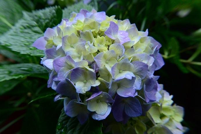 18紫陽花紫_1163a