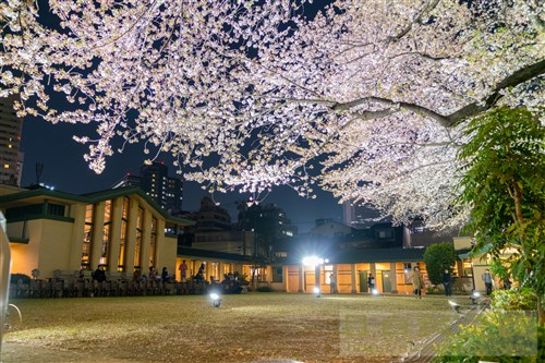 20180331池袋明日館夜桜1