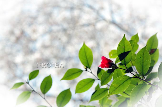 桜つばき_