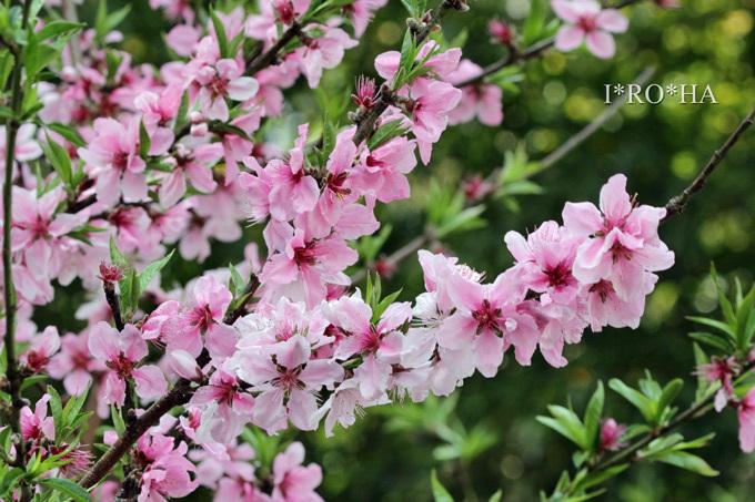 桃の花_1