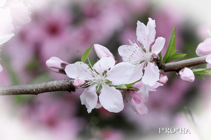 桃の花_2