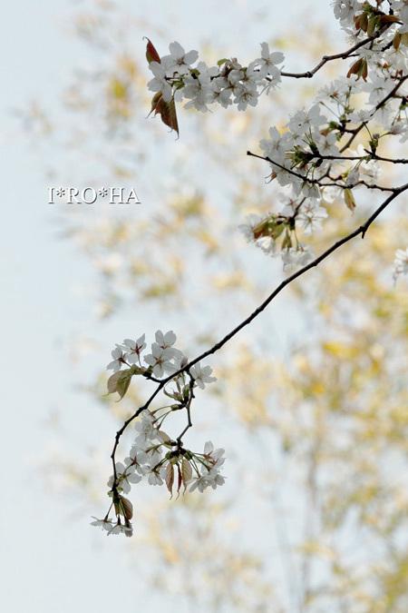 ヤマザクラ_