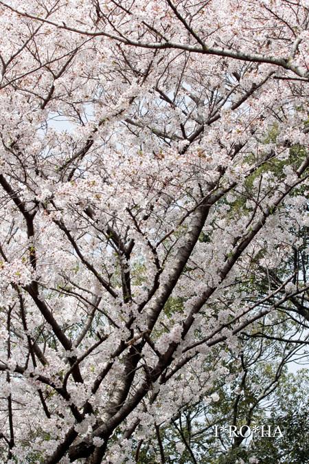sakura_.jpg