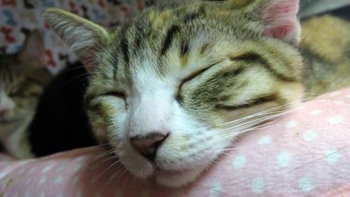 寝ている子猫は