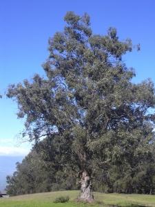 800px-Starr_031214-0076_Eucalyptus_globulus.jpg