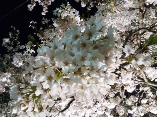 201804宮城野夜桜③