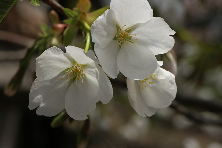 紫雲出山の大島桜 30 3 29