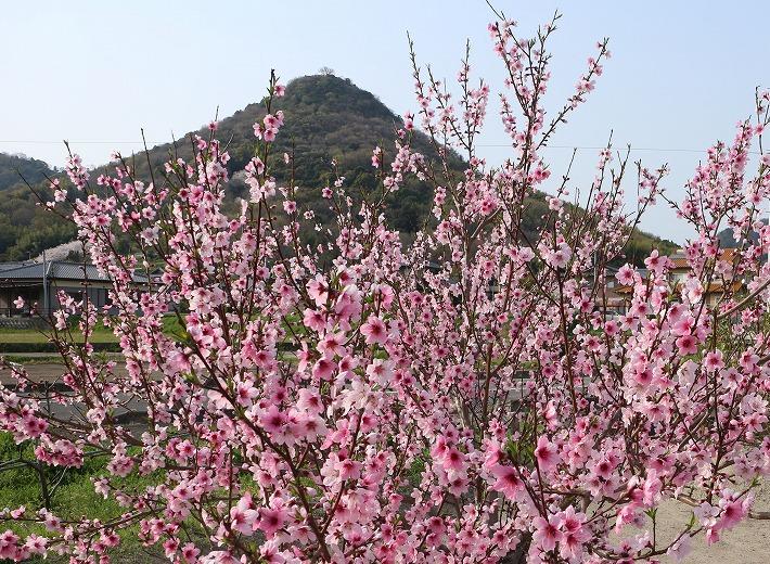 大見富士と桃の花 30 3 29