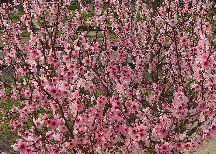 桃の花満開 横田さん畑 30 3 29