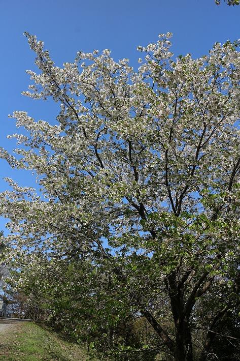 七宝山の白っぽい桜 30 4 8