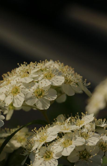 コデマリの花 縦に 30 4 22