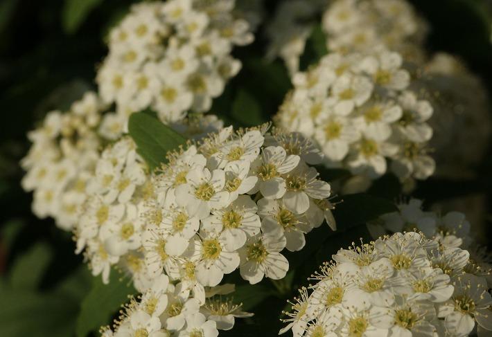コデマリの花 お茶やさん 30 4 22