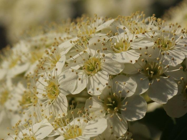 コデマリの花アップで 30 4 22