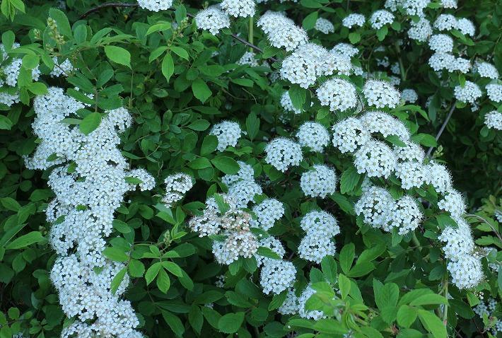 イワガサ花に少し接近 30 4 23