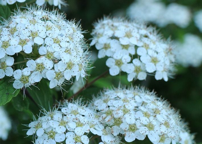 イワガサの花 30 4 23