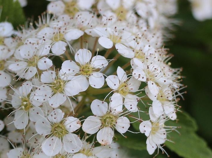 イワガサの花アップ 30 4 23