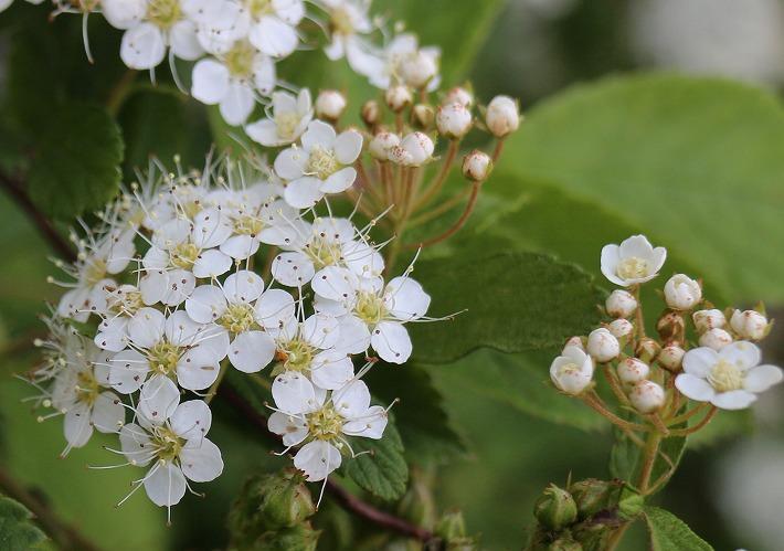 イワガサのつぼみと花と30 4 23