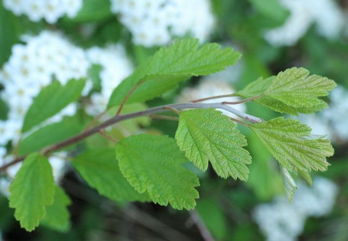 イワガサの葉っぱ 30 4 23