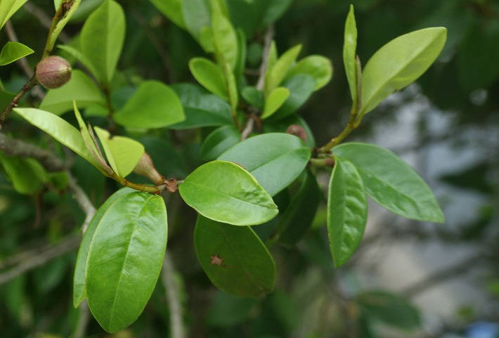 唐種オガタマの葉っぱ 西村先生 30 4 25
