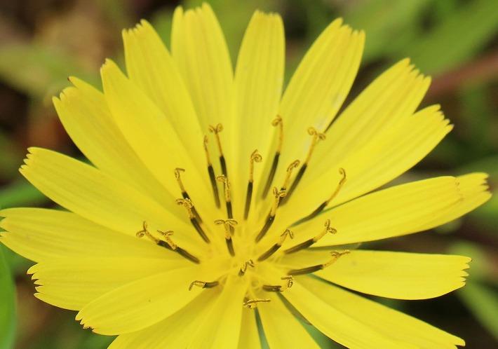 オオジシバリ花だけ 30 4 27