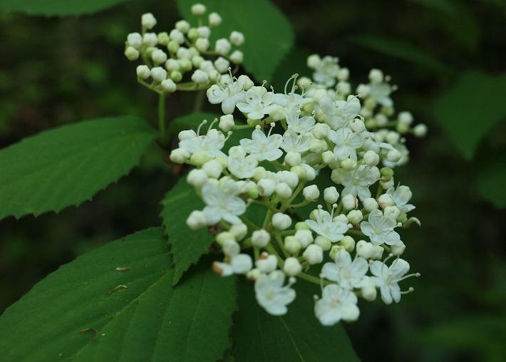 コバノガマズミの花 白い 30 4 28