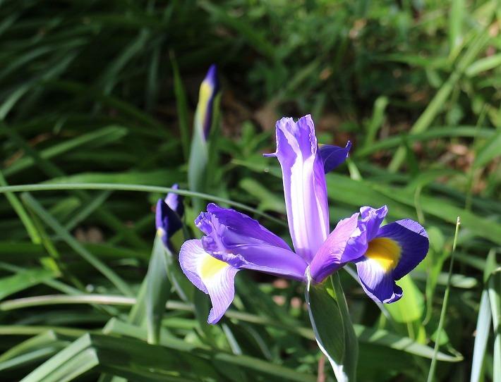 アイリスが咲いてます 爺神山 30 4 28