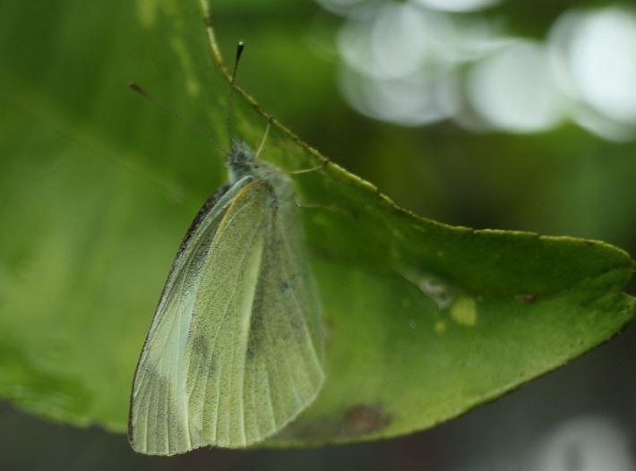 みかんの葉で雨宿り白い蝶 30 5 8