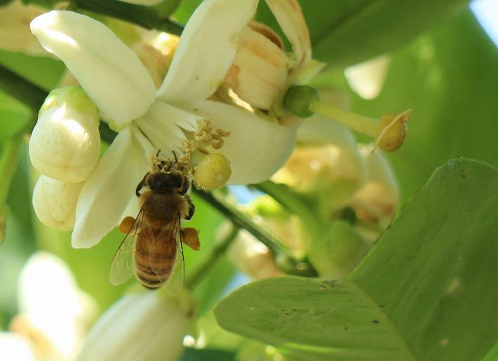 みかんの花の蜜を ミツバチ 30 5 5