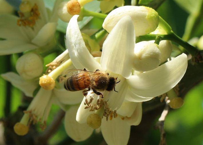 蜜柑花から蜜をもらうミツバチさん 30 5 5