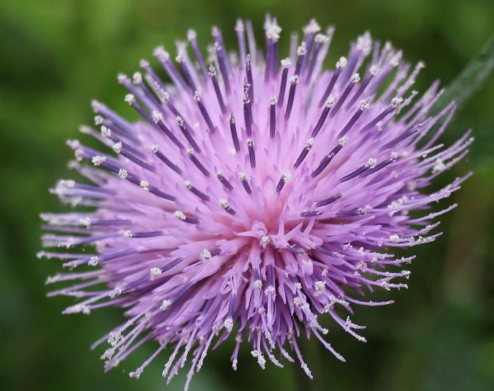 アザミの花 30 5 21
