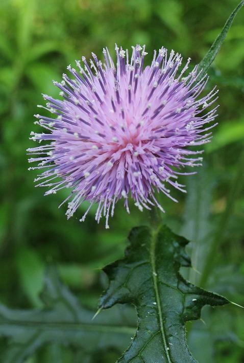 アザミの花咲いて爺神山 30 5 21