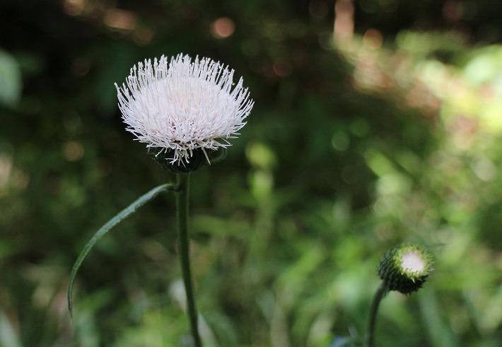 白いアザミも一緒に咲いてます 30 5 21