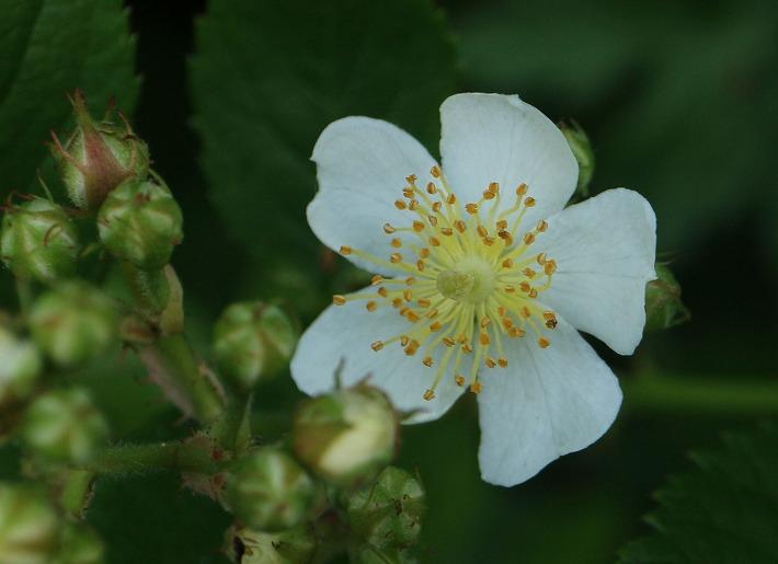 ノイバラ白色咲いています 30 5 1