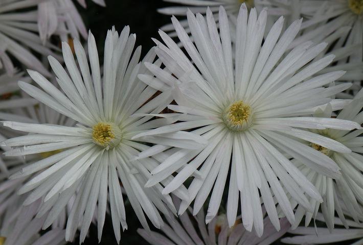 マツバギク白花 2個並んで 30 5 23