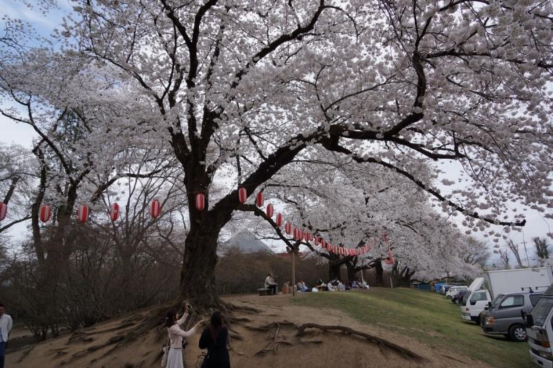5桜 (1200x800)