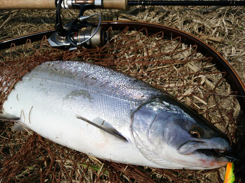 サクラマス サクラマス釣り 釣り 魚 trout fishing 鱒