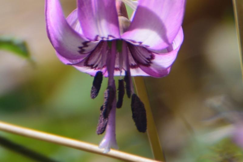 カタクリ花びらDSC_0809