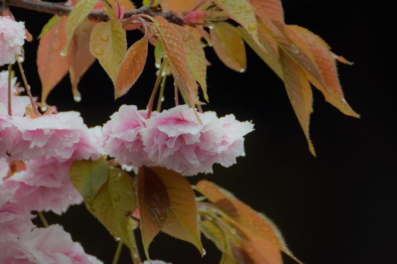 桜DSC_0074