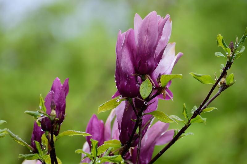 紫木蓮DSC_0024