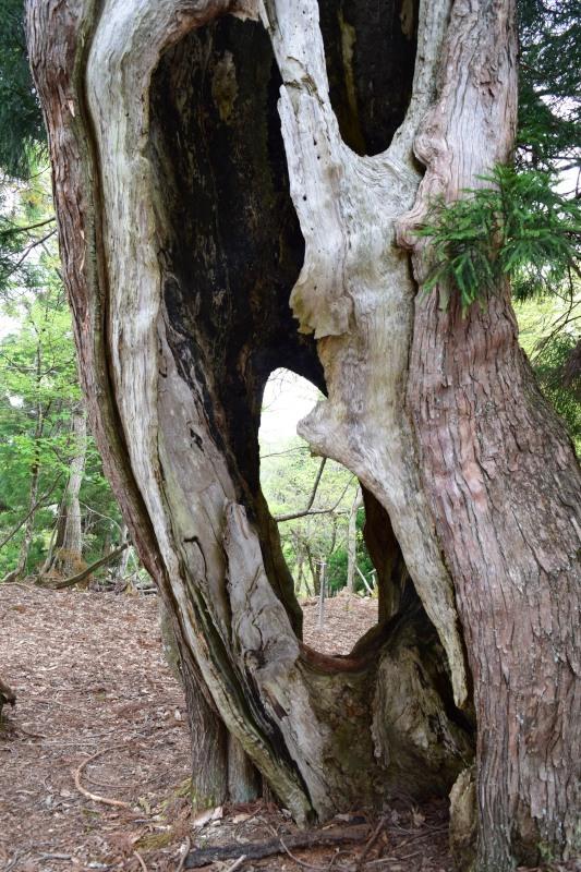 カミナリ杉