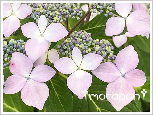 180517 額紫陽花-3