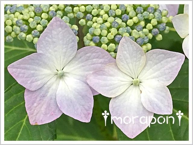 180517 額紫陽花-4