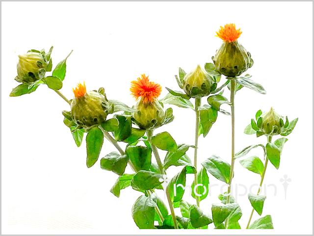 180519 紅花-1