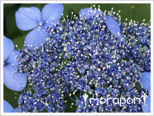 180605 額紫陽花-2