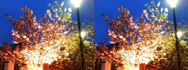 造幣局 桜の通り抜け 夜桜⑯(平行法)
