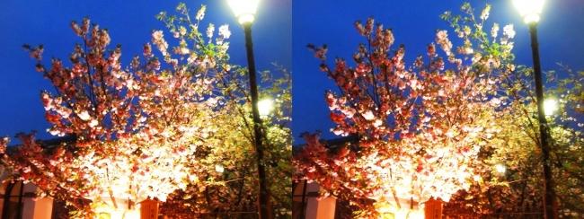 造幣局 桜の通り抜け 夜桜⑯(交差法)